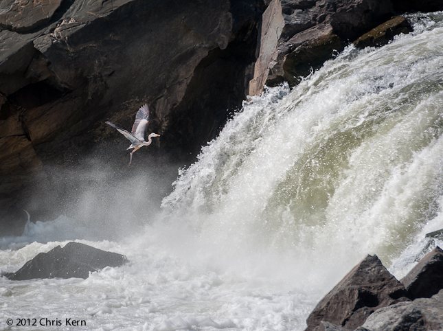 Heron at Great Falls, Potomac, Maryland