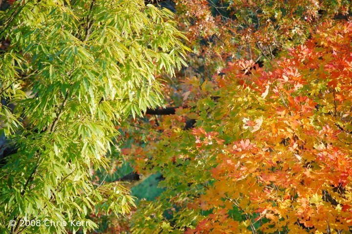Autumn Leaves in Sunlight, Washington, District of Columbia, USA (2008)