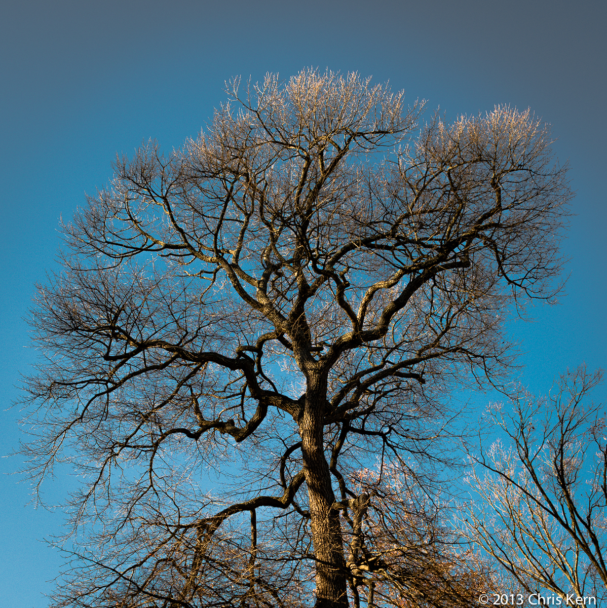 Black Gum Tree Crown, Rockville, Maryland, USA (2013)