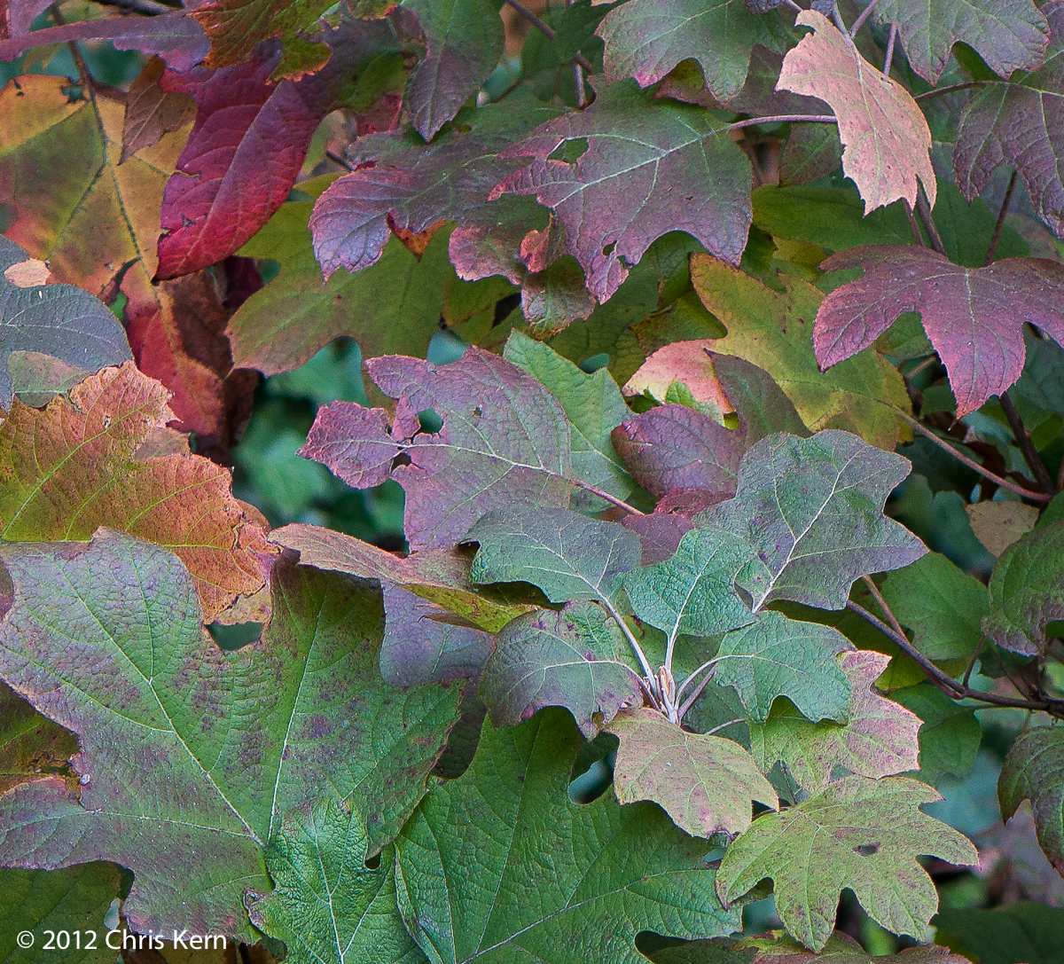 Hydrangea Leaves, Washington, District of Columbia, USA (2012)