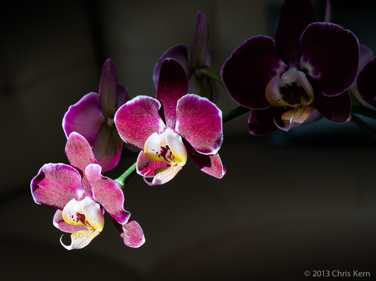 Orchid in the Sun, Rockville, Maryland, USA (2013)