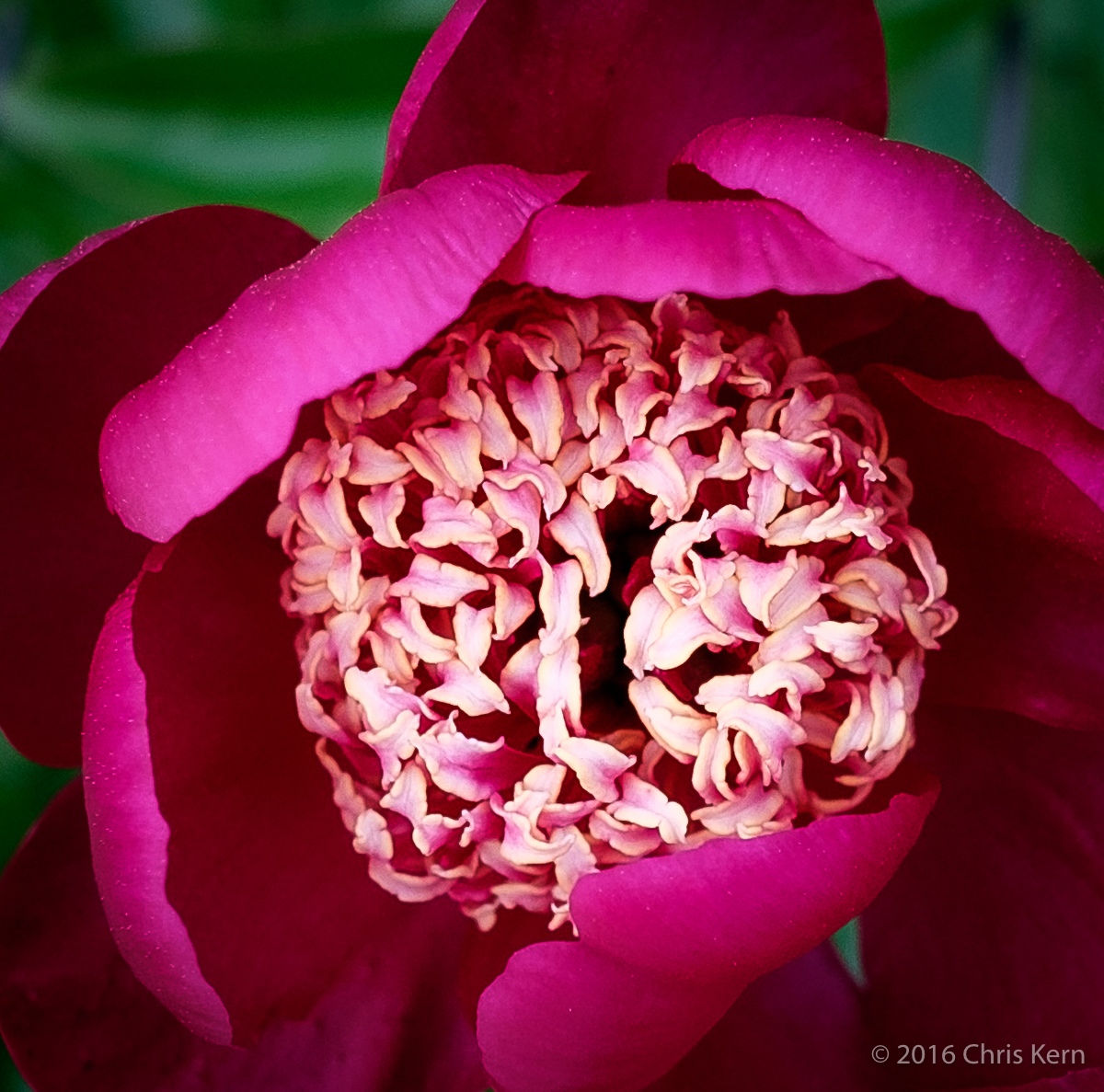 Paeonia Lactiflora, Rockville, Maryland, USA (2016)